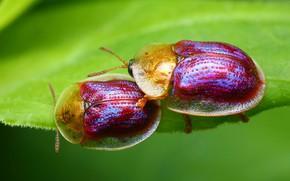 Картинка эротика, макро, любовь, насекомые, зеленый, фон, листок, весна, зеленые, пара, жуки, парочка, два, милые, неоновые, ...