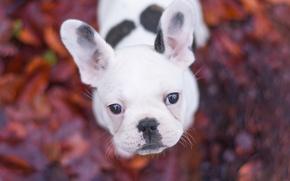 Картинка взгляд, собака, щенок, мордашка, боке, Французский бульдог