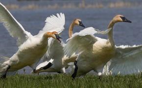 Картинка птицы, крылья, клюв, лебеди, шея, красноголовый лебедь-трубач