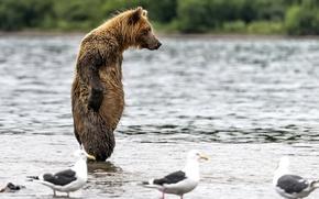 Обои вода, мокрый, медведь