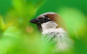 Картинка природа, птица, клюв, домовый воробей