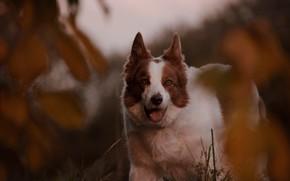Картинка взгляд, собака, боке, Бордер-колли