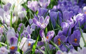 Обои весна, лепестки, Крокусы, Шафран