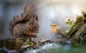 Обои орех, друзья, дружба, птица, общение, зарянка, птичка, белка, грызун, пень, природа, фон, белочка