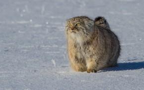 Картинка снег, Манул, дикая кошка