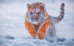 Обои зима, снег, молодой тигр, тигр, тигренок