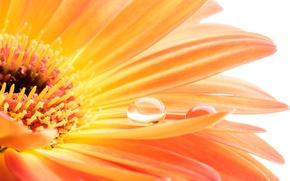 Обои гербера, colorful, капля, вода, gerbera, flowers