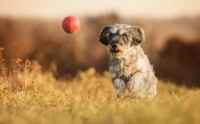 Картинка собака, прогулка, мячик, боке