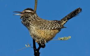 Картинка птица, ветка, клюв, хвост, обыкновенный кактусовый крапивник