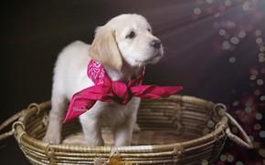 Картинка корзина, собака, щенок, косынка, Голден ретривер, Золотистый ретривер