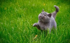 Картинка кошка, трава, кот, котёнок, киса