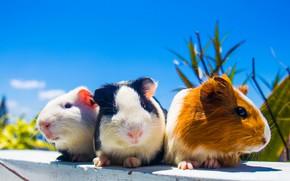 Картинка три, семейка, морские свинки
