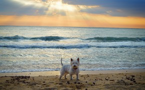 Обои Вест-хайленд-уайт-терьер, Dog, Море, Sea, Собачка