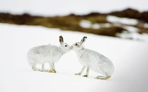 Обои зима, Шотландия, зайцы, заяц белый, снег