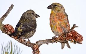 Картинка птицы, ветка, клюв, пара, клёст-еловик