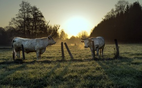 Картинка забор, утро, скот