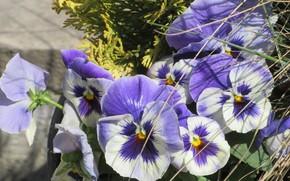 Картинка цветы, анютины глазки, апрель, весна 2018, Mamala ©