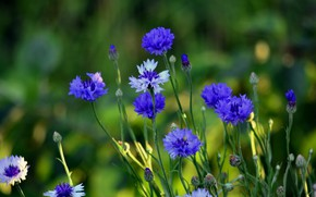 Картинка лето, цветы, растения, васильки, дача, флора