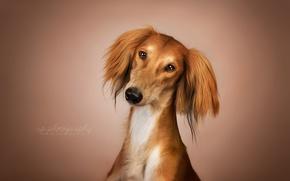Обои взгляд, друг, собака, Салюки