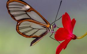 Картинка цветок, природа, лепестки, мотылек, Грета Ото, стеклянная бабочка