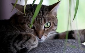 Обои глаза, кот, взгляд