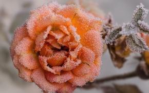 Картинка иней, макро, роза