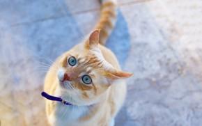 Обои котейка, взгляд, мордочка, рыжий кот, голубые глаза