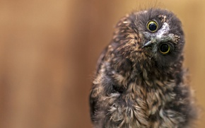 Обои совёнок, глаза, птица, сова, фон, взгляд