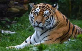 Картинка трава, взгляд, морда, кошки, тигр, поза, зеленый, фон, портрет, лапы, лежит, дикие кошки, дикая природа