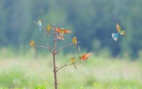 Картинка птицы, деревце, боке, Щурки