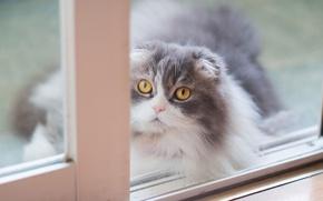 Обои кот, желтые глаза, пушистая, дымчатая, вислоухая, мордочка, шотландская, светлый, фон, окно, серая, кошка, взгляд, портрет