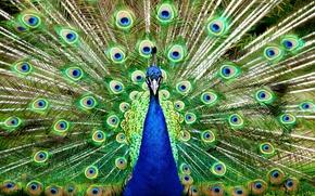Картинка природа, птица, перья, хвост, павлин, пернатые, распушил