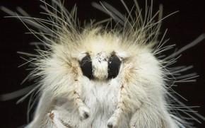 Картинка природа, фон, Sparshall's Moth, Trichiocercus sparshalli