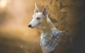 Обои бандана, морда, Борзая собака, Левретка, боке, портрет, собака
