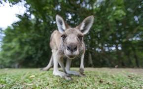 Картинка морда, природа, кенгуру