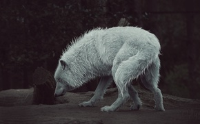 Картинка природа, волк, ретушь, by Amphispiza