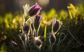 Картинка весна, сон-трава, анемон