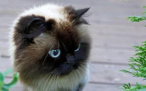 Обои кошка, шерсть, глаза
