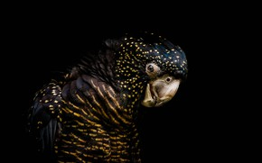 Картинка птица, попугай, чёрный фон, тёмный фон, Траурный какаду Бэнкса, Red-tailed black cockatoo