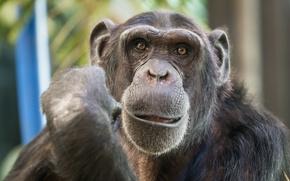 Картинка взгляд, обезьяна, Chimpanzee