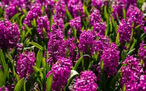 Картинка Цветы, цветение, кустики, Гиацинты