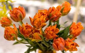Картинка цветы, оранжевый, Тюльпаны, бутоны