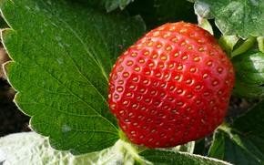 Картинка листья, Макро, клубника, ягода