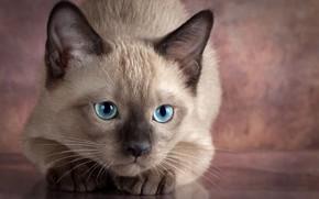 Обои глаза, детёныш, котёнок, Анна Верзина, Anna Verzina, взгляд, животное