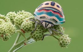Обои макро, насекомое, черепашк