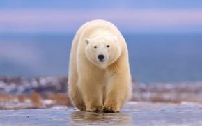 Картинка прогулка, белый медведь, боке