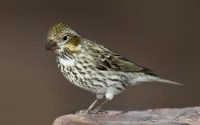 Картинка птица, хвост, самка, красношапочная чечевица