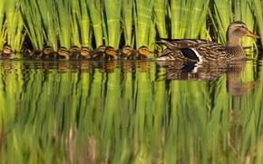 Картинка природа, птица, утята, утка