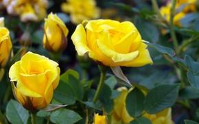 Картинка куст, розы, желтые, бутоны