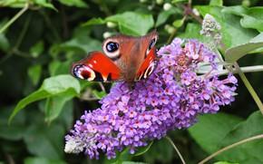 Картинка Макро, Бабочка, Цветочки, Macro, Butterfly, Purple flowers